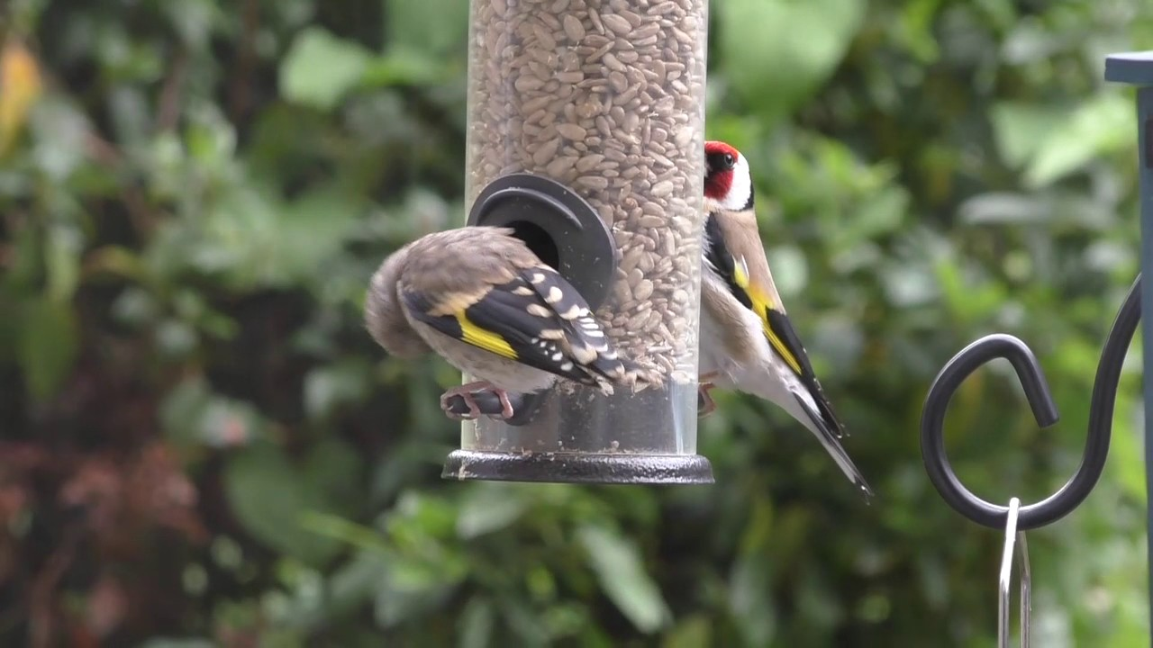 Baby Goldfinch at Feeders - YouTube