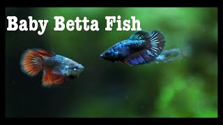How to care for betta fry in Malayalam