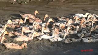 Duck farming in small village in Vietnam Part 2