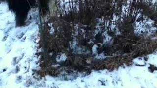 ラズベリーに鹿よけにかけたネット。ここになぜかよく鳥が入っている。...