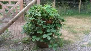 Growing Strawberries In A Strawberry Pot