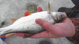 Зимняя рыбалка Ловля плотвы на вымя в феврале My fishing