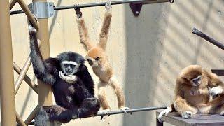 旭山動物園 シロテテナガザル どうにも止まらない! Lar Gibbon
