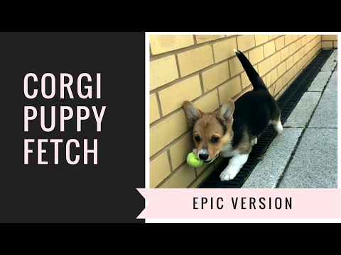CORGI PUPPY CHASING BALL