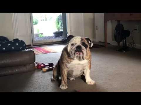 reuben-the-bulldog-head-on-a-swivel