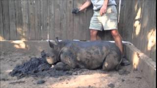 Gertjie the orphaned rhino