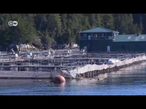 The Problem With Farmed Salmon | Global 3000