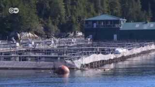 The Problem with Farmed Salmon   Global 3000