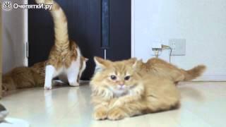 коротколапые котята