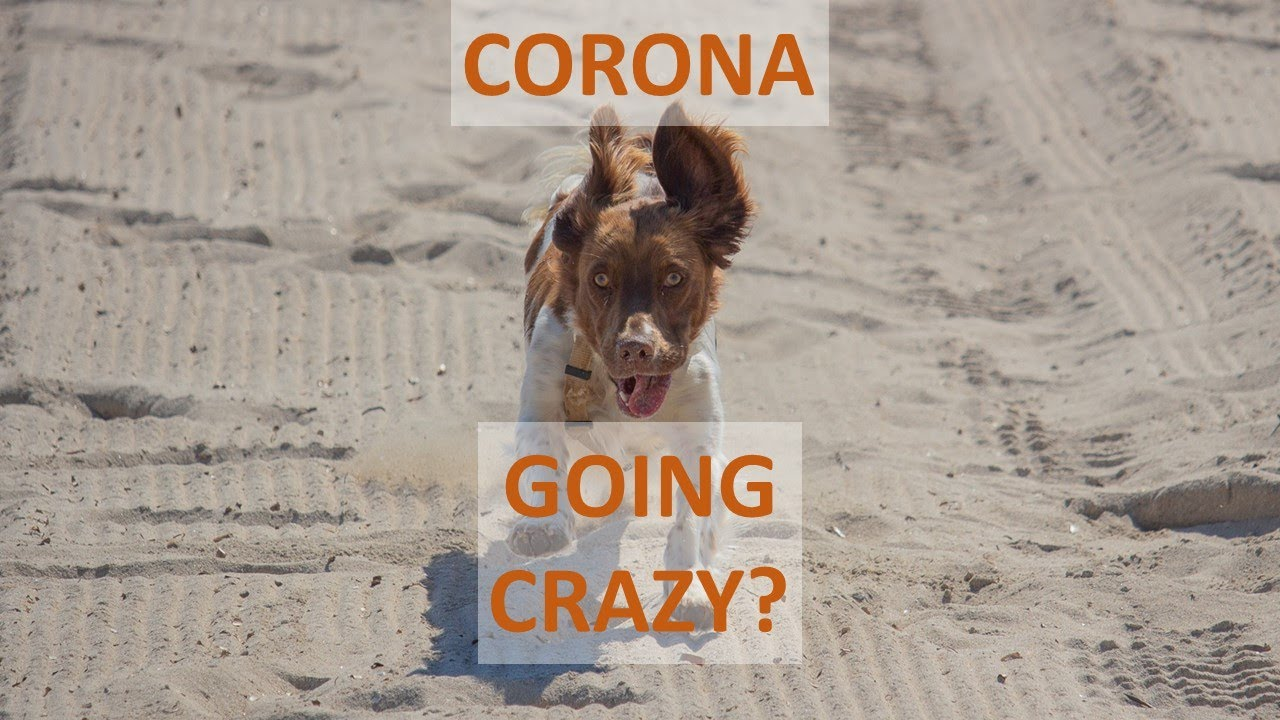 If Corona Is Driving You Crazy - Dog Is Going Crazy In Lockdown!
