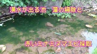 山奥にある知り合いの池ですが藻が大量発生しているため掃除を兼ねて赤...