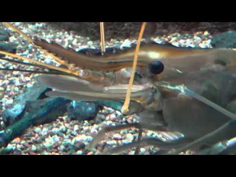 Asian Rivers   Yangtze, Ganges, Mekong   Blue clawed prawn or shrimp   Shedd Aquarium