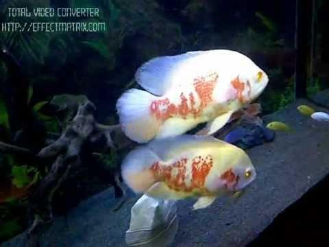 MIRACLE ALBINO OSCAR Fish In UAE Ajman - Fish With ALLAH & MUHAMMAD Name.wmv