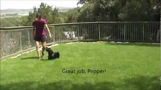 Pepper, Week  3 Obedience Boarding School
