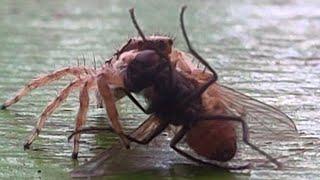 laba laba vs lalat