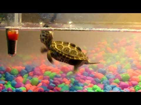 Squirt the Aquatic Turtle