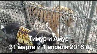 Тимур и Амур 31 марта и 1 апреля 2016 г.
