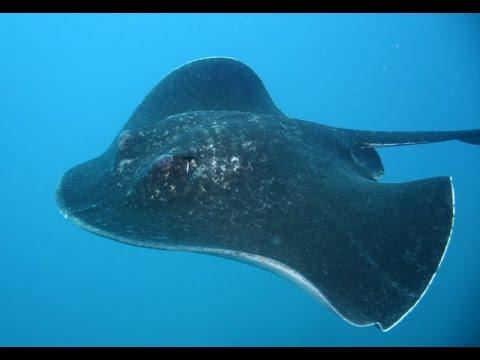 крупный морской скат