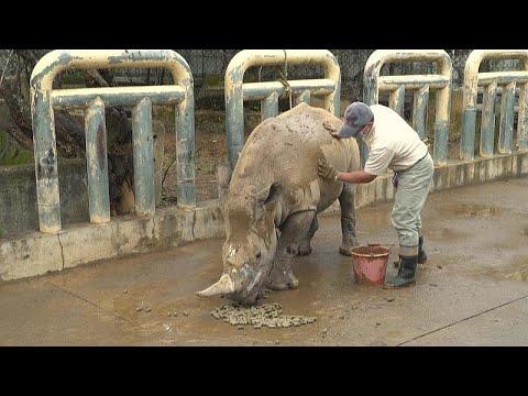 شاهد: إيما.. أنثى وحيد قرن ستسافر من تايوان إلى اليابان للتزاوج…  - نشر قبل 51 دقيقة