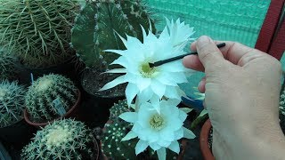 How to Pollinate Cactus Flowers to get Seed - Echinopsis Cactus