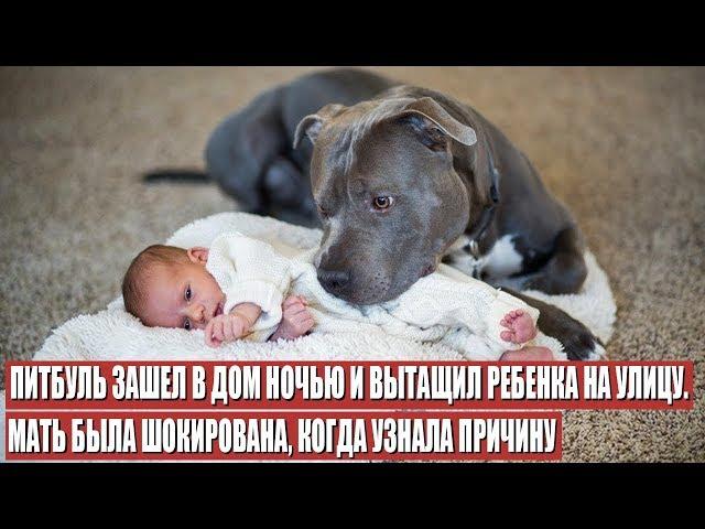 Питбуль Спас Ребёнка, но то, Как Он Это Сделал, Шокировало Мать