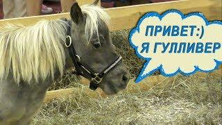 Самый маленький конь Гулливер - американская миниатюрная лошадь #ПониФермаИдальго #Иппосфера 2018