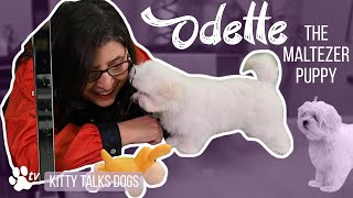 Grooming Odette the Maltese puppy | Kitty Talks Dogs  TRANSGROOM