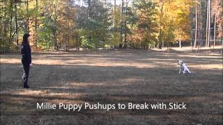 "5mo Old Lab Puppy ""millie"" Before And After - Dog Training Raleigh Durham"