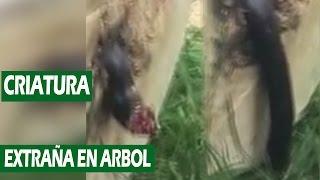 Extraña Criatura Encontrada en el Tronco de un Árbol || VÍDEO VIRAL 2016