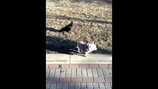 Ворон чуть не унёс собаку....!!!!!!