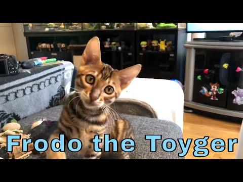 Frodo the Toyger