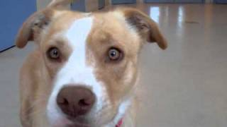 Honey An American Pit Bull Terrier:labrador Mix Available For Adoption At The Wisconsin Humane Society