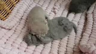 British Shorthair. Our first steps. Cattery Calmcat