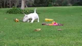 English Bullterrier Puppies For Sale