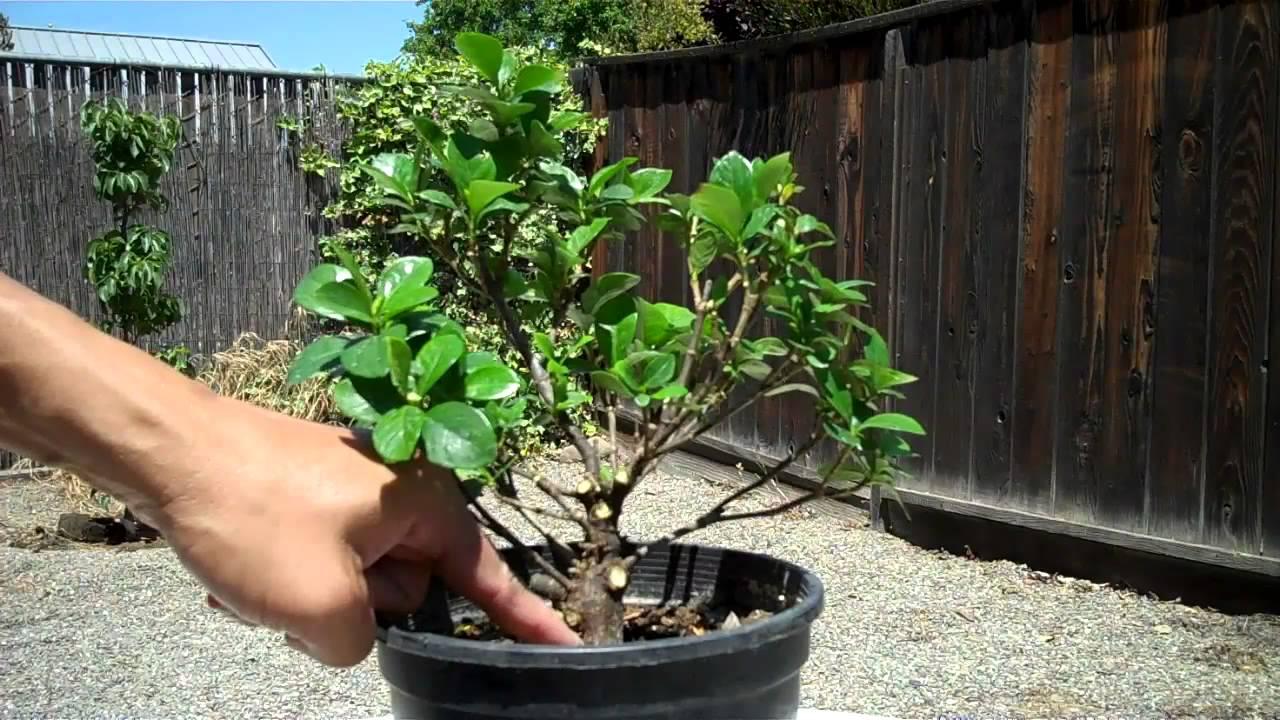 Creating A Dwarf Gardenia Bonsai Part 2 Finalize Pruning + Root Pruning.mp4    YouTube