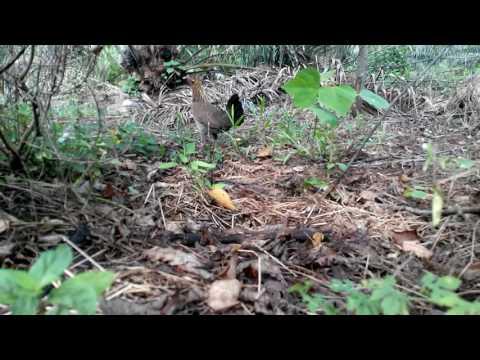 Ayam Hutan Pikat Betina 73 HD