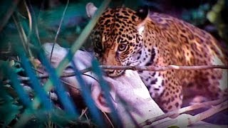 Repeat youtube video Amazonia: Land of Jaguars (part 1/5)