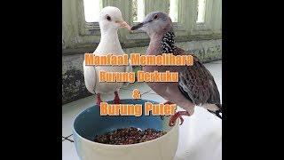 vuclip Manfaat Memelihara Burung Derkuku dan Burung Puter Bagi Pelestari dan Pencinta Burung Perkutut