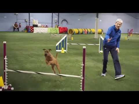 Irish Terrier Harper Agility 2019-05 18-19