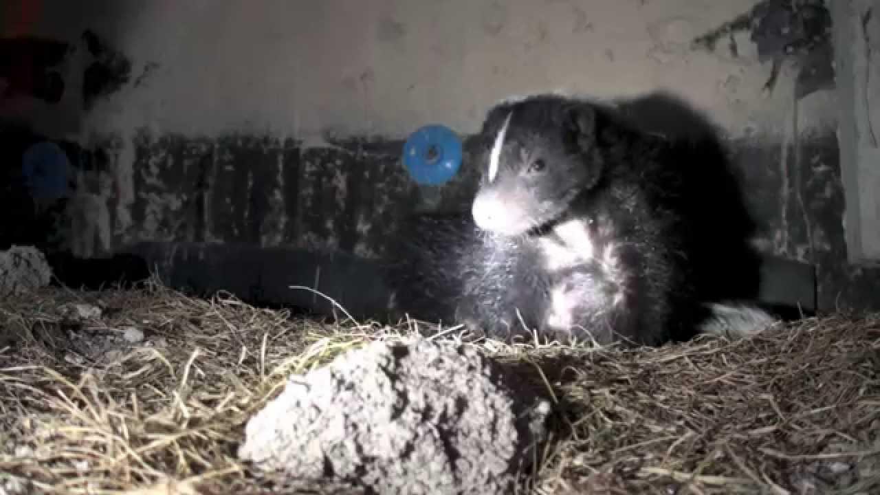 peek inside a skunk den site youtube