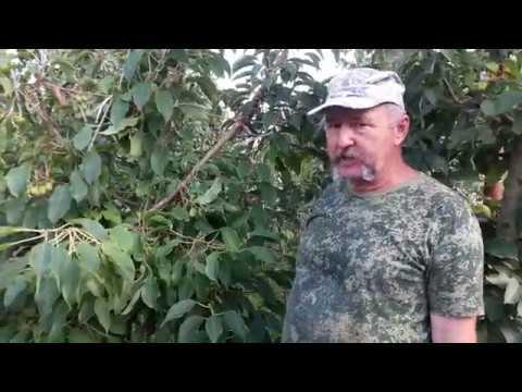 Актинидия аргута сорт Киевская крупноплодная