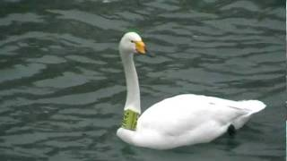 Labuť zpěvná - Cygnus cygnus - Whooper Swan - Singschwan