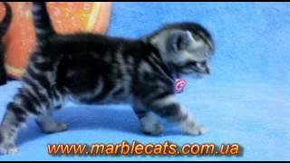 Британские котята окраса вискас (Litter B)