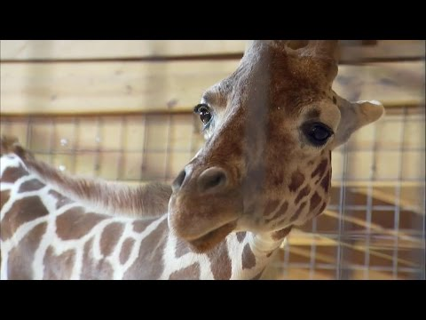 Thumbnail: Name of April the Giraffe's baby revealed on 'GMA'