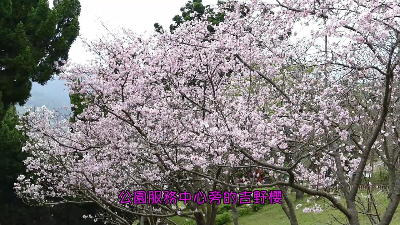 陽明山國家公園吉野櫻盛開(2020.03.11)