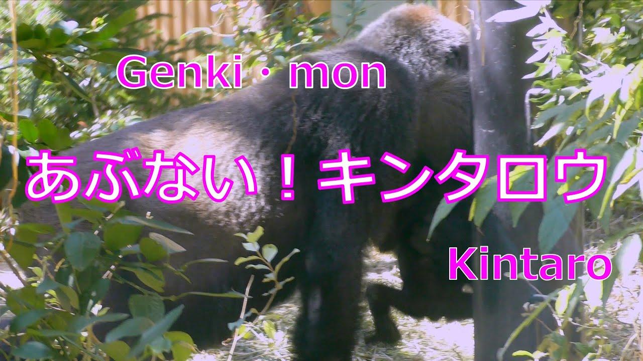 危ない、キンタロウ!💗Dangerous Kintaro!