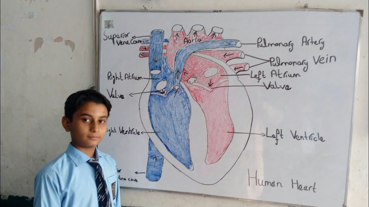 Easy Way To Draw Heart Structure By 5 Steps How To Draw