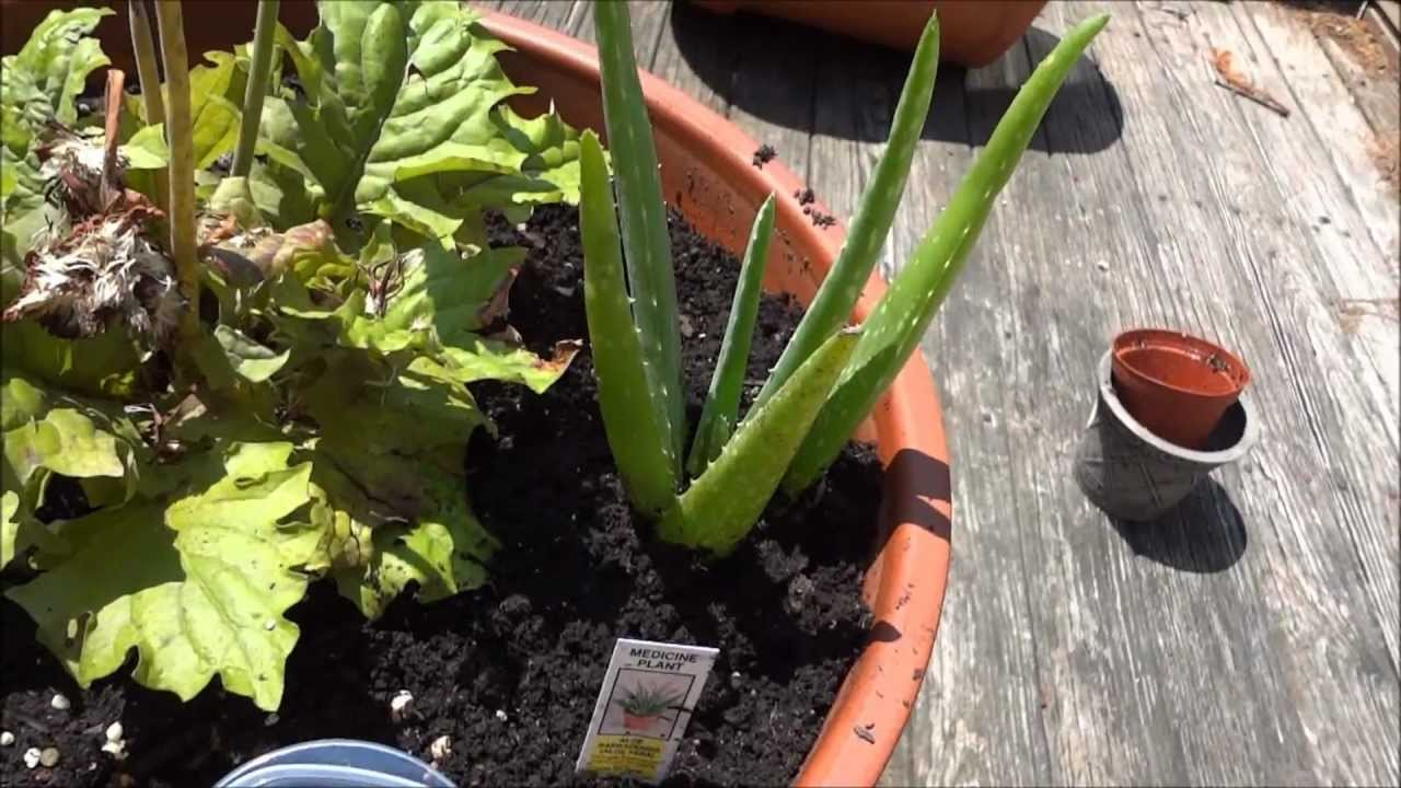 My Aloe Vera Plant Fresh Aloe Sap Gel Youtube