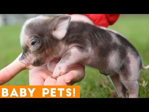 Small Pets with Big Attitudes! Ultimate Cute Baby Animals Compilation April 2018 | Funny Pet Videos