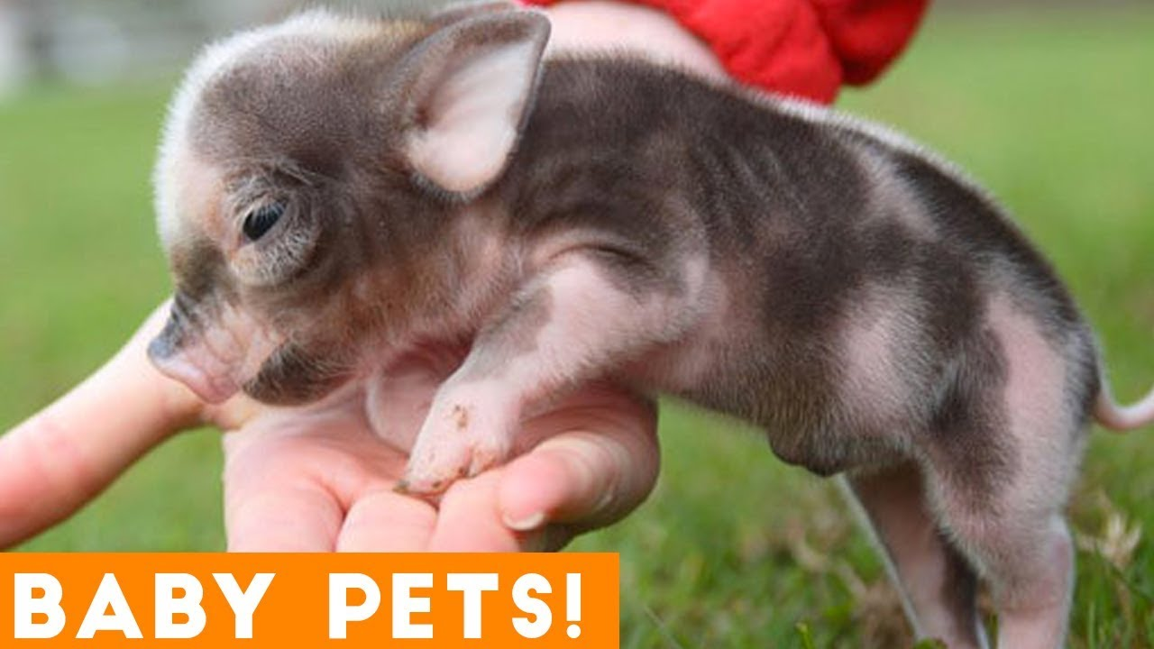 small pets with big attitudes! ultimate cute baby animals